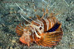 Very rare gurnard lionfish in Nha Trang. by Caroline Istas